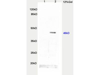 TWIST protein Antibody, ALEXA FLUOR® 350 Conjugated