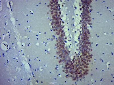 FOX3/NeuN Antibody, ALEXA FLUOR® 555 Conjugated