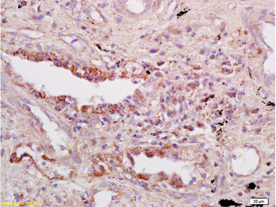 Tap1 Antibody, ALEXA FLUOR® 350 Conjugated