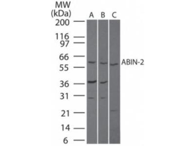 Rabbit Polyclonal TNIP2 Antibody