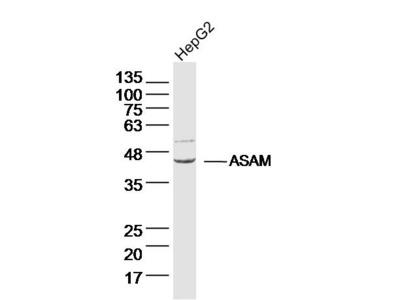 ASAM Polyclonal Antibody, ALEXA FLUOR® 350 Conjugated