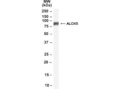5-Lipoxygenase Antibody