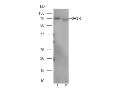 GAS 6 Antibody, Cy3 Conjugated
