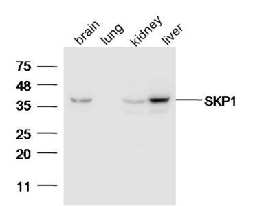 SKP1 Antibody, ALEXA FLUOR® 350 Conjugated