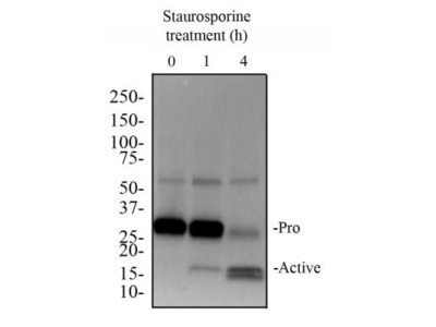 Caspase-3 Antibody (31A1067) - (Pro and Active)