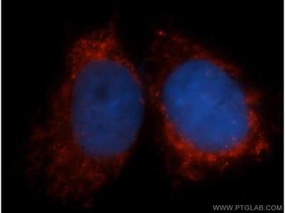 COX6A1 antibody