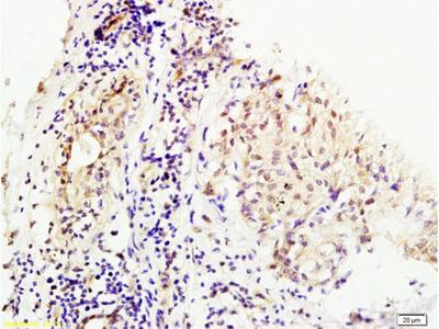 MMS19 Antibody