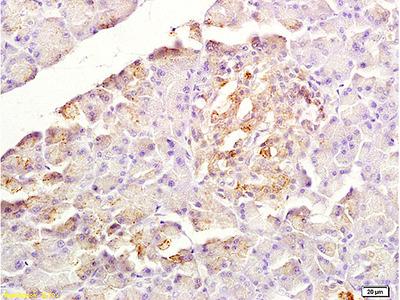 SDF1 Antibody, Cy3 Conjugated