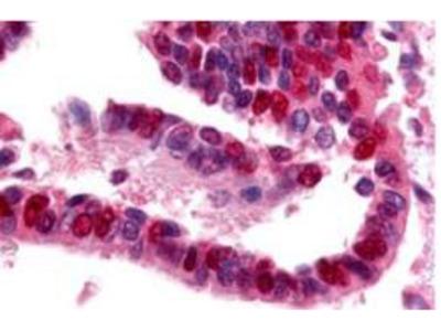 Ubiquitin Activating Enzyme E1 Antibody