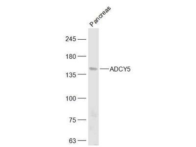 ADCY5 Antibody, ALEXA FLUOR® 350 Conjugated
