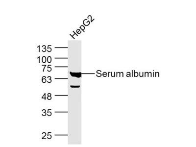 Serum albumin Antibody, ALEXA FLUOR® 350 Conjugated