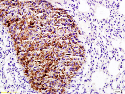 EMP1 Antibody, ALEXA FLUOR® 488 Conjugated