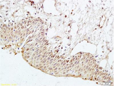 PARD-3 Antibody, ALEXA FLUOR® 350 Conjugated