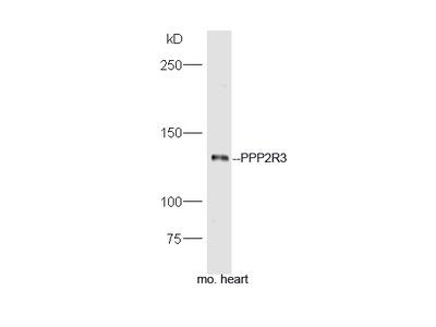 PPP2R3 Polyclonal Antibody, ALEXA FLUOR® 350 Conjugated