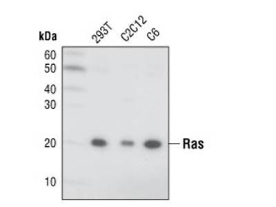 Ras (27H5) Rabbit mAb