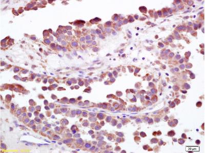 S100-A9 Antibody, ALEXA FLUOR® 350 Conjugated