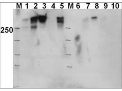 DNA PKcs pT2609 Antibody
