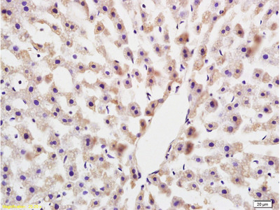 COLEC10 Antibody, ALEXA FLUOR® 350 Conjugated