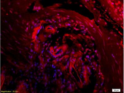 CTHRC1 Antibody, ALEXA FLUOR® 350 Conjugated