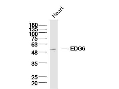 EDG6 Antibody, ALEXA FLUOR® 350 Conjugated
