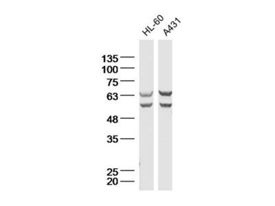 Natriuretic Peptide Receptor C Antibody, ALEXA FLUOR® 350 Conjugated