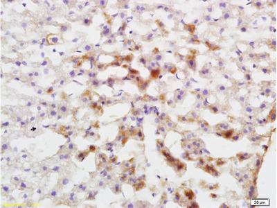 Cytochrome P450 1A2 Antibody, ALEXA FLUOR® 488 Conjugated