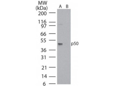 Mouse Monoclonal NFkB p105 / p50 Antibody