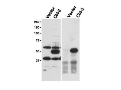 Cbl-c Antibody