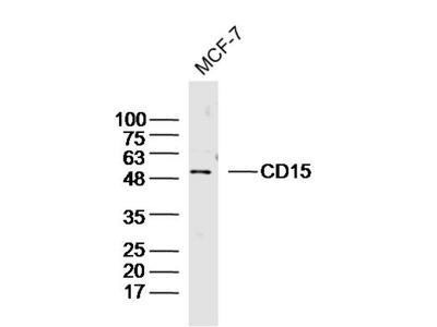 CD15/Fut4/SSEA-1 Antibody, ALEXA FLUOR® 350 Conjugated