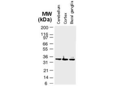 Bag-1 Antibody