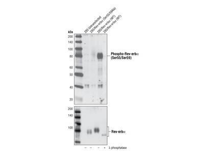 Phospho-Rev-erbα (Ser55/59) Antibody