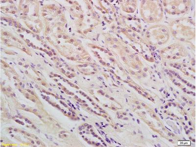 Phospholipase C beta 1 Antibody, ALEXA FLUOR® 350 Conjugated