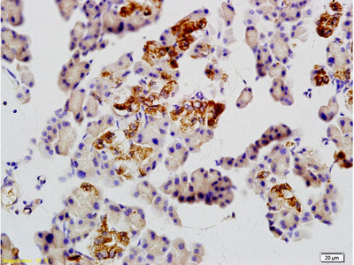 GLUT10 Antibody, ALEXA FLUOR® 350 Conjugated