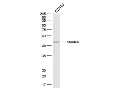 Staufen Antibody, ALEXA FLUOR® 350 Conjugated
