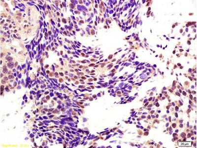 CENPH Antibody, ALEXA FLUOR® 350 Conjugated