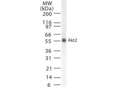 Mouse Monoclonal AKT2 Antibody
