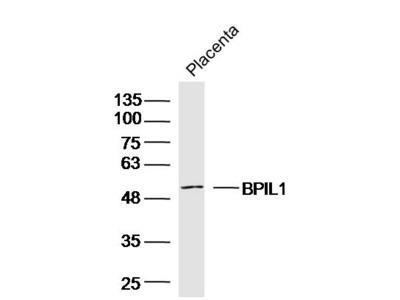 BPIL1 Antibody, ALEXA FLUOR® 350 Conjugated