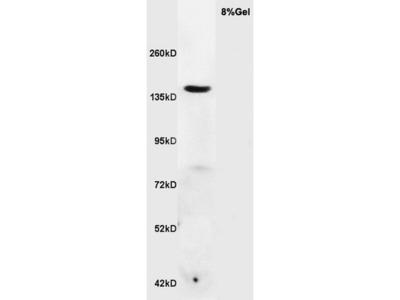RNF123 Antibody