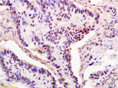 THOC2 Polyclonal Antibody, ALEXA FLUOR® 350 Conjugated