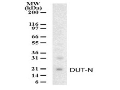 Rabbit Polyclonal dUTPase Antibody