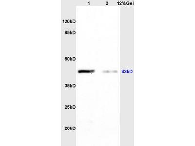 CK 2 alpha Antibody, ALEXA FLUOR® 350 Conjugated