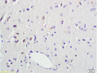 DTNBP1 Antibody, ALEXA FLUOR® 350 Conjugated