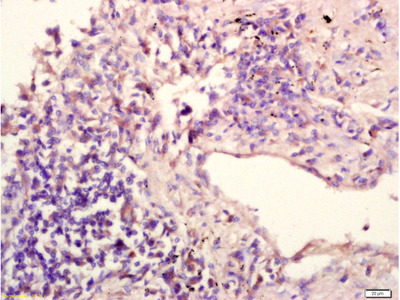 IL-12RB1/CD212 Antibody, ALEXA FLUOR® 350 Conjugated