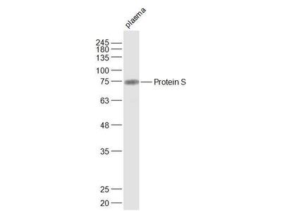 Protein S Polyclonal Antibody, Cy3 Conjugated