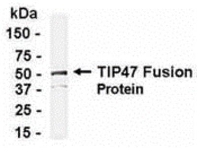 M6PRBP1 Antibody