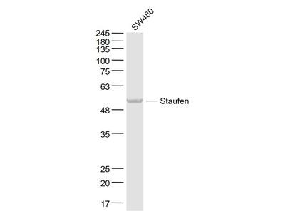 Staufen Antibody