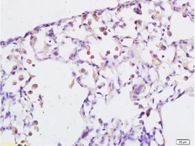 LTB4-R1/BLTR Antibody, ALEXA FLUOR® 350 Conjugated