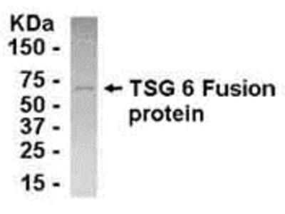 TNFAIP6 Antibody