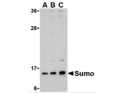 Sumo Antibody