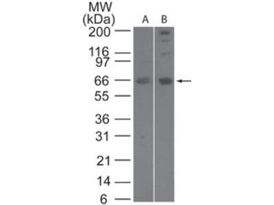 Rabbit Polyclonal SENP2 Antibody